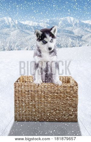 Photo of a Siberian husky puppy looking at the camera while standing in a wicker basket in the forest shot in wintertime