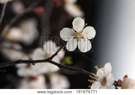 Blossoming tree brunch with spring white flowers on blurred dark background. Selective focus flower.