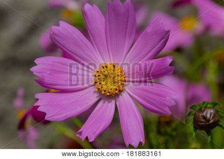 Blossoming Pink Cosmos Flower