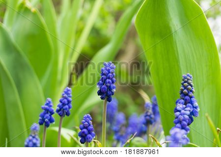 Flowering Hyacinths. Plants on a Field. Violet Hyacinths in Spring. Purple Flowers. Violet hyacinths on a Field
