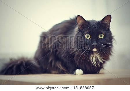 Black fluffy cat with green eyes and white paws.