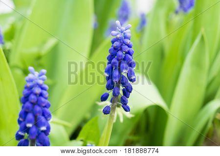 Flowering Hyacinths. Plants on a Field. Violet Hyacinths in Spring. Purple Flowers. Blooming hyacinths on a Field