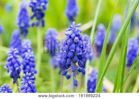 Flowering Hyacinths. Garden Flowers. Violet Hyacinths in Spring. Purple Flowers. Violet hyacinths on a Field