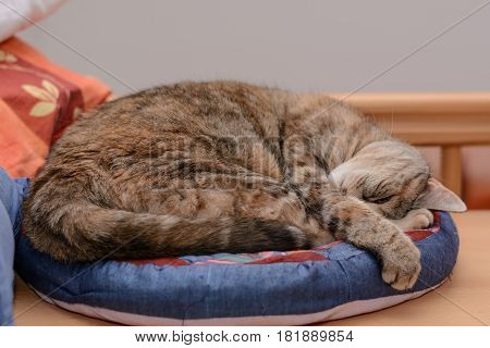 Gray cat lying in the cat's bed - cuddly house cat