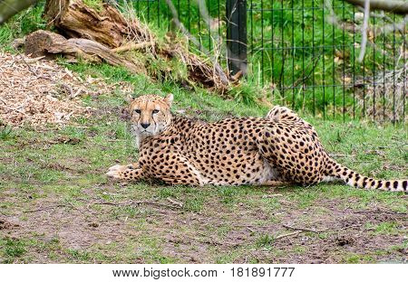 Cheetah lying on the ground looking around
