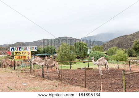 OUDTSHOORN SOUTH AFRICA - MARCH 24 2017: A holiday resort offering camel rides. The building at the Cango Caves is visible against the mountain in the back