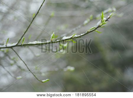Plant budding and springtime snowfall concept of weather change. Particular focus closeup