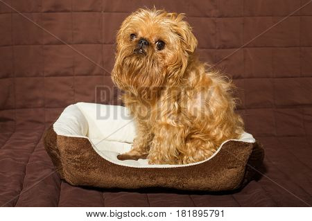 Dog breed Brussels Griffon is in bed