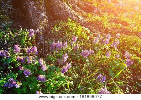 Spring forest landscape - spring flowers of Corydalis halleri under the tree in the spring forest. Spring forest landscape with spring flowers under the tree. Spring flowers in the forest