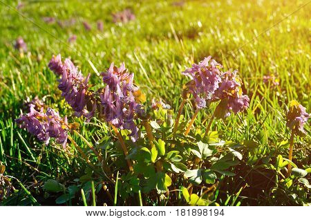 Spring flowers of Corydalis halleri in blossom under the tree in the forest. Spring forest flowers background. Closeup of spring forest flowers in the sunlight. Spring flowers in the forest