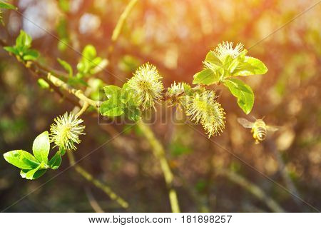Spring landscape - buds of willow under sunlight in the spring forest. Forest spring landscape view. Spring nature of forest willow tree. Spring backgorund