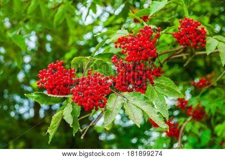 Red elderberry on the branch under soft sunlight. Spring landscape with red elderberry