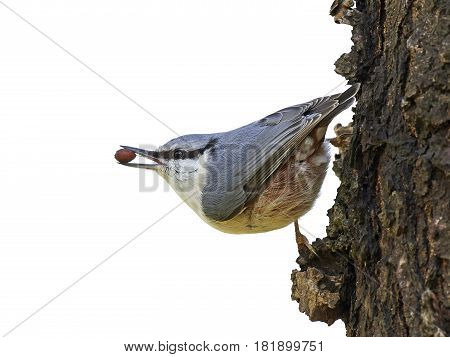 Eurasian nuthatch sitting on a tree trunk with a nut in its beak