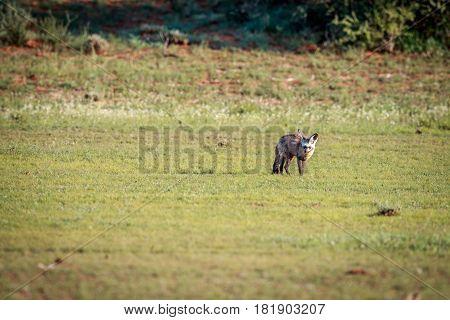 Bat-eared Fox Walking In The Grass.
