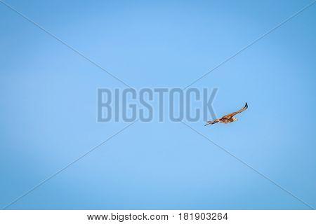 Flying Juvenile Pale-chanting Goshawk.