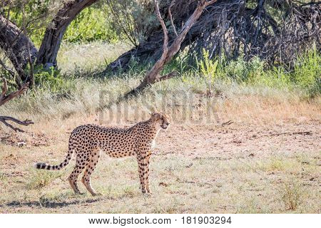 Cheetah Standing In The Grass.