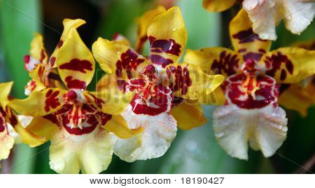 Red Yellow Cambria Orchid Flower