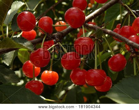 bunches of ripening cherries on the branch