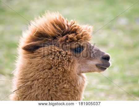 Portrait of domesticated Llama - Lama guanicoe