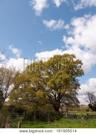 A Fantastic Lush Tree In The Middle Of The Countryside, With A Lovely Clear Sky And Partial White Cl