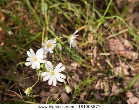 Several Beautiful White  Anemone Flower Heads On The Floor At The Side Of A Path, With Grass And Soi