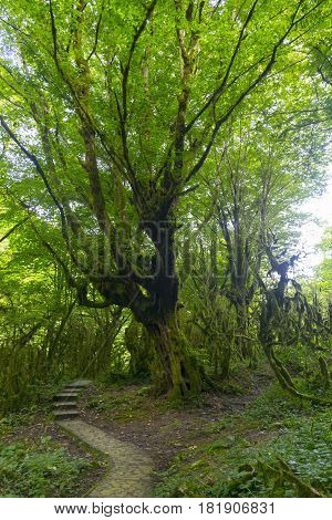 Fairytale forest with wild mossy boxwood trees and a path