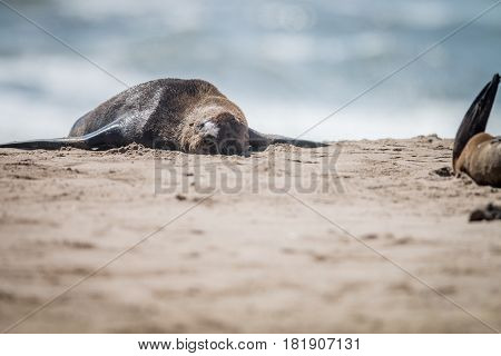 Cape Fur Seal Laying On The Beach.