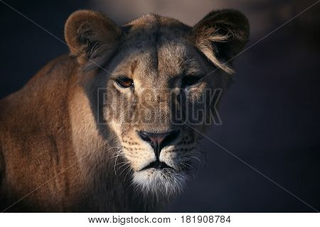 the portrait of a lioness close up