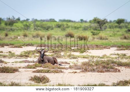 Blue Wildebeest Laying On The Ground.