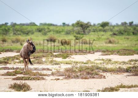 Side Profile Of A Blue Wildebeest.