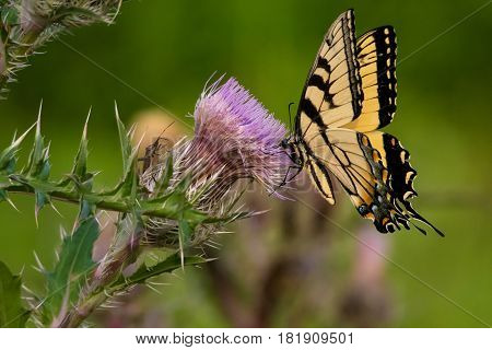 Swallowtail Butterfly having a sip from a thistle