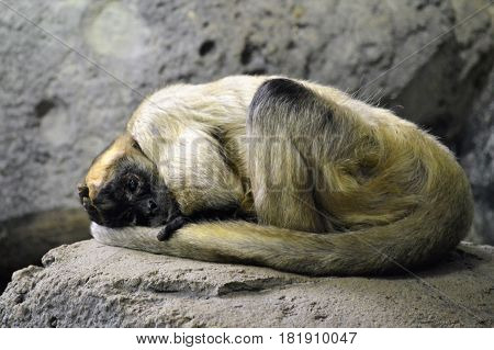 A spider monkey resting on a rock