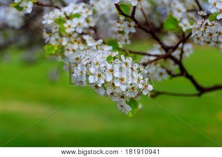 Blossoming Cherry Prunus Avium , Ukraine, Eastern Europe