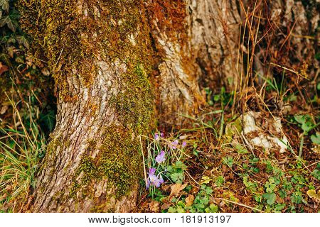 Many crocuses in the grass in the woods near the stump in the moss. A field of crocuses in the urban park of Cetinje, Montenegro.