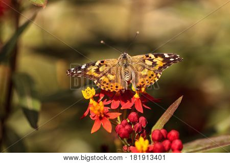 Painted Lady butterfly Vanessa cardui on a red flower in a botanical garden in spring