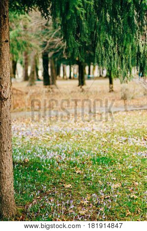 Many crocuses in the grass under the fir tree. A field of crocuses in the urban park of Cetinje, Montenegro.