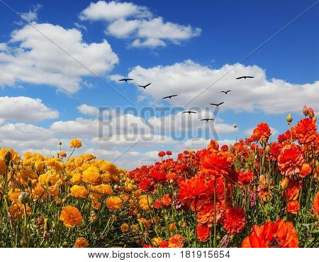The concept of recreation and eco-tourism. The southern sun illuminates the flower fields of red and yellow buttercups. Migratory birds flying high in the cumulus clouds