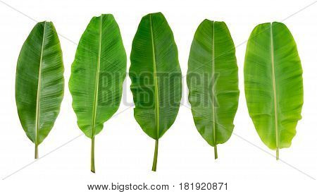 collection of banana leaf isolated on white background
