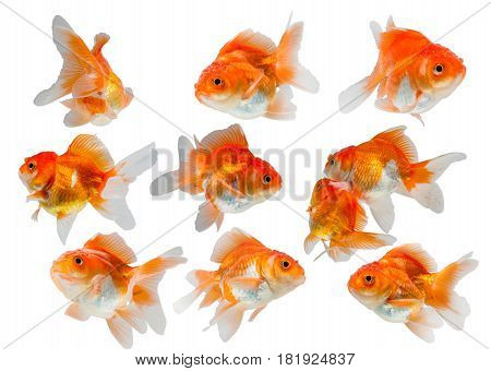 collection of goldfish isolated on white background