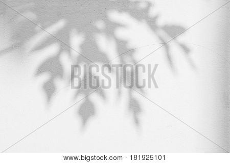 abstract background of shadows papaya leaf on wall. White and Black