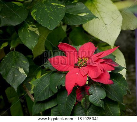 Red decorative flower One of the flowers that bloom all year round in tropical islands