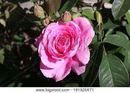 This is an image of a English Tea Rose in full bloom. The image was taken in April in our Carmel. California garden. This is a close up of the first rose of the season on this bush.