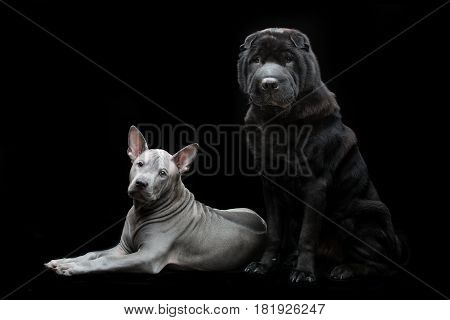 Beautiful old black purebred shar pei dog sitting and cute blue thai ridgeback puppy lying over black background. Copy space.