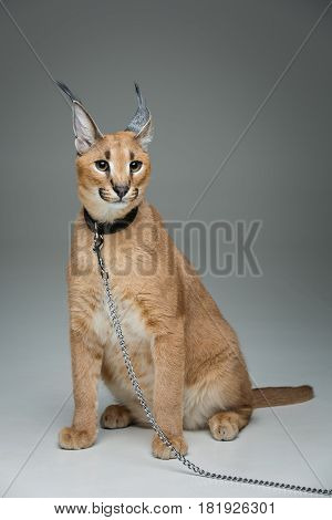 Beautiful caracal lynx 6 months old kitten in leather collar with chain leash sitting on grey background. Isolated. Studio shot. Copy space.