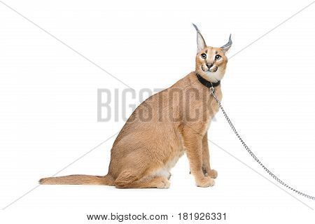 Beautiful caracal lynx 6 months old kitten in leather collar with chain leash sitting on white background. Isolated. Studio shot. Copy space.