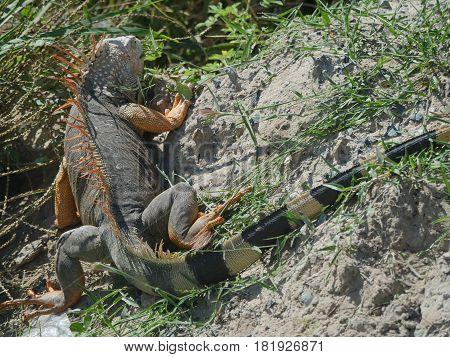 Iguana from St Marteen, Caribbean islands An iguana crawls up across the beaches of St Marteen, French Side.