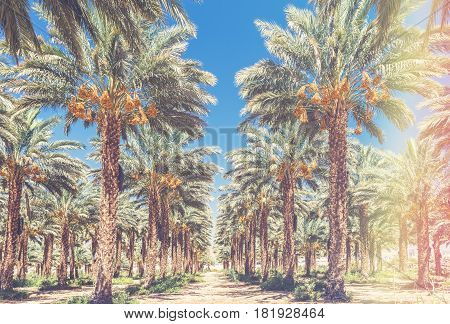 Plantation of date palm trees. Start of the growing season of dates. Middle East agriculture concept . Toned image for vintage effect