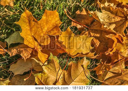 Maple leaves in various stages piling up on a lawn in autumn