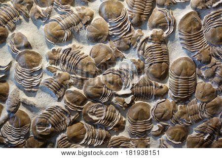 Trilobyte fossils on sand stone background - detail.