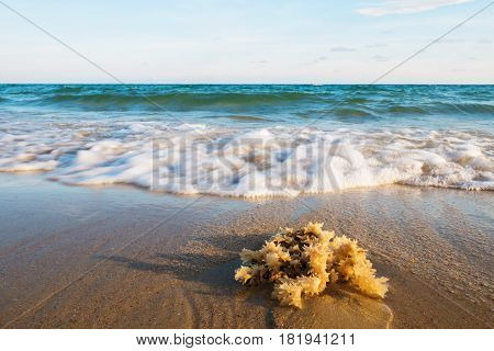 Close up jellyfish with soft wave on the sandy beach of tropical sea Rayong Thailand